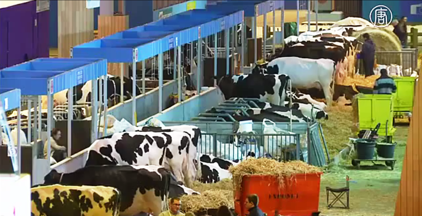Фермеры привозят своих самых лучших и красивых животных. Скриншот видео: Телеканал NTD