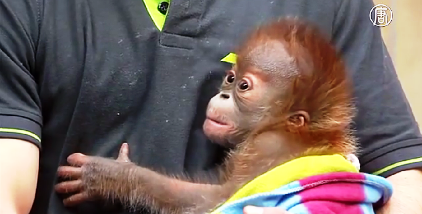 Детеныш орангутана по кличке Риеке. Скриншот видео: Телеканал NTD