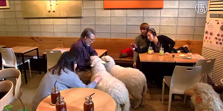Две пушистые овечки пользуются большой популярностью. Скриншот видео