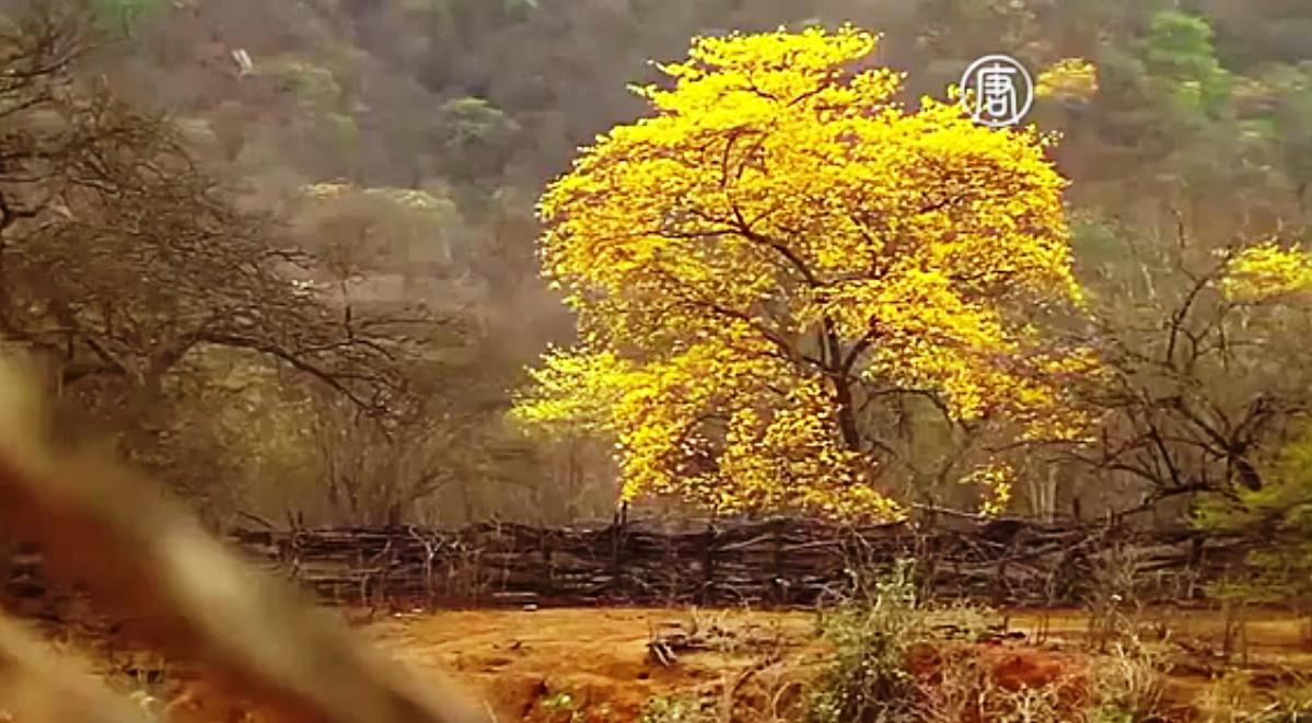 Голые, без листьев деревья накинули на себя ярко-жёлтые попоны. Скриншот видео: Телеканал NTD