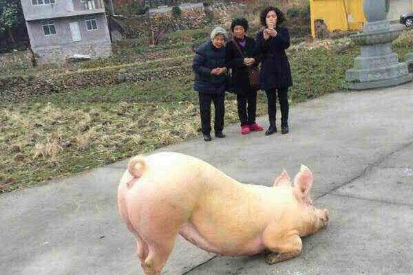 Молящаяся у храма свинья укрепила веру китайцев в перерождения