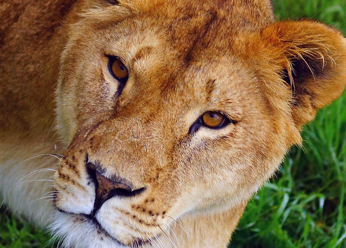 Пьяный посетитель белгородского зоопарка стал жертвой львицы