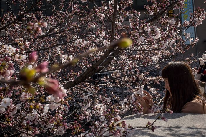 Цветение сакуры. Фото: Chris McGrath/Getty Images
