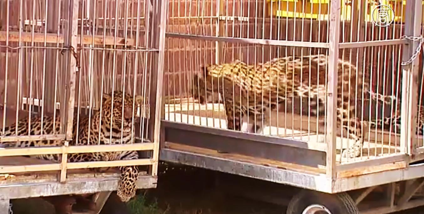 Владельцы цирков серьёзно обеспокоены дальнейшей судьбой своих подопечных. Скриншот видео: Телеканал NTD