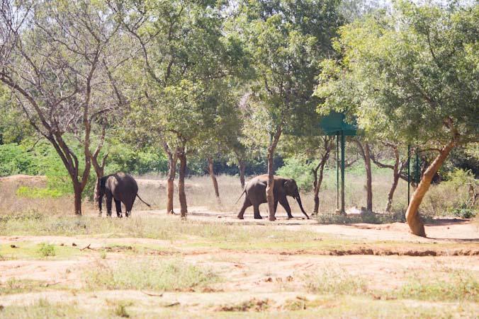 В индийском городе Джайпуре пытались провести незаконный матч по поло на слонах