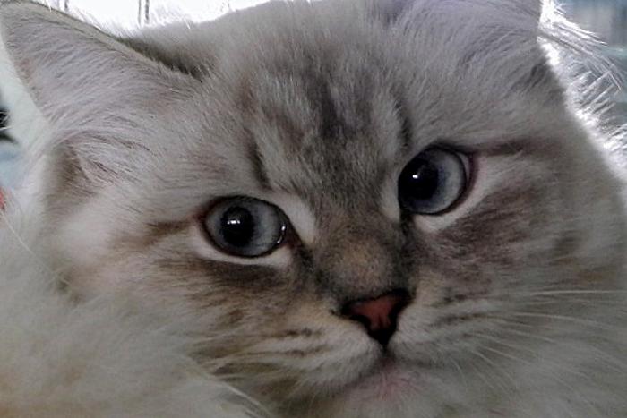 Сибирская кошка. Фестиваль «Мартовский кот» провели в Севастополе. Фото: Алла Лавриненко