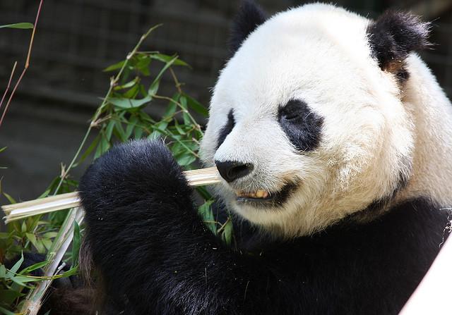 Панда, искусственное оплодотворение, Великобритания, Эдинбург