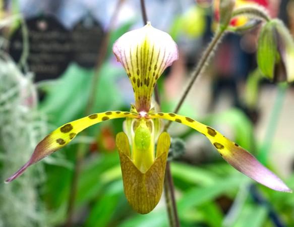 орхидея пафиопедилюм