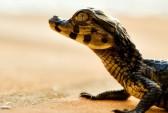 Аргентинские муравьи уничтожают детёнышей крокодилов