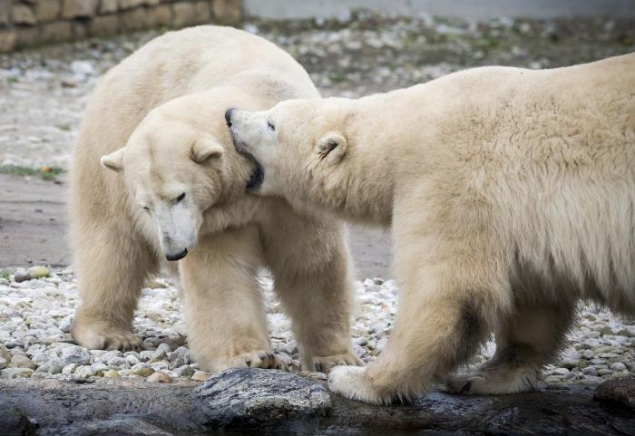 На Чукотке готовятся к нашествию белых медведей