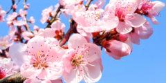 Цветы персика ― украшение крымских садов