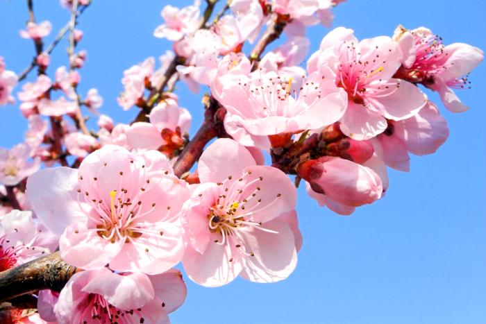 Цветы персика ― украшение крымских садов. Фото: Лавриненко Алла/Великая Эпоха