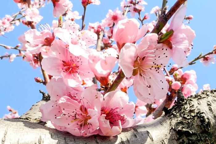 персика цветы фото
