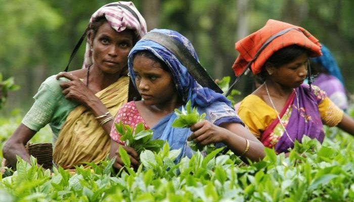 Изменение климата в Индии угрожает чайному бизнесу (видео)