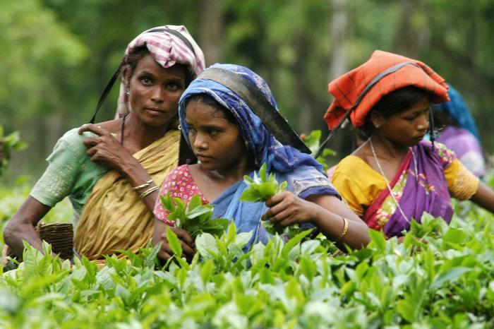 Сборщики чайных листьев. Фото: STRDEL/AFP/Getty Images