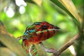 Мадагаскар, хамелеоны, учёные