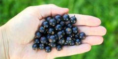 Чёрная смородина снижает уровень холестерина