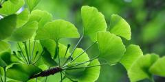 Гинкго: древнее дерево долголетия