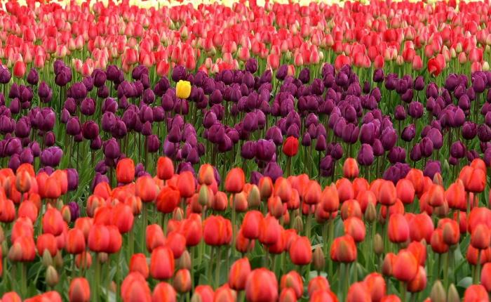 Сад тюльпанов Кашмира зачаровывает туристов