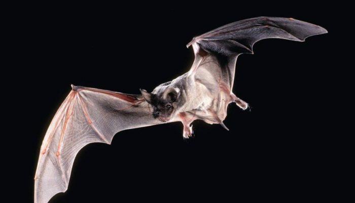 Палеонтологи обнаружили останки бегающей летучей мыши