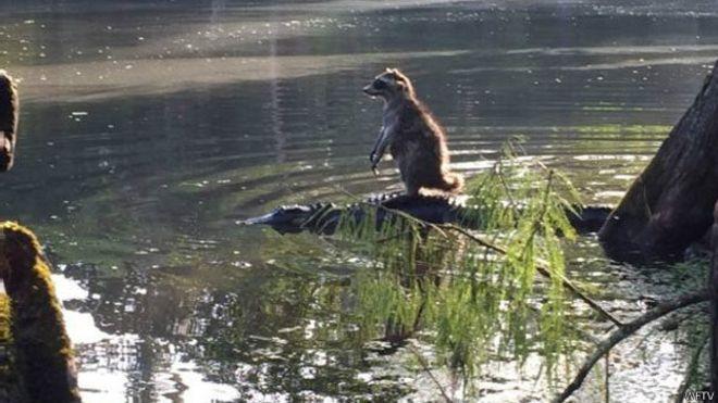 Сразу после того, как Ричард Джонс сделал сенсационное фото, аллигатор опустился под воду, а енот спрыгнул и убежал. Фото: ВВС