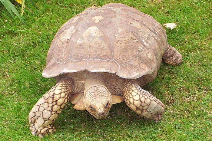 Японец ежедневно выгуливает огромную черепаху