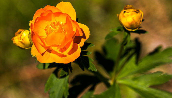 Жарки — сибирские розы сурового края