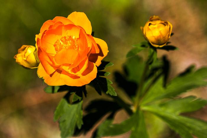 Жарки — сибирские розы сурового края. Фото: Нина Апёнова/Великая Эпоха