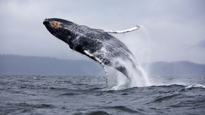 Сейвал, Чили, киты, учёные