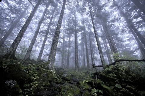 Девственные леса на высоте 2500 в Шэньнунцзя, провинция Хубэй
