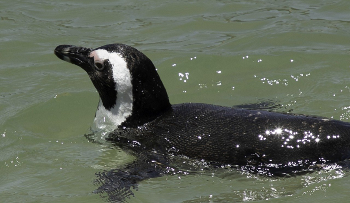 Сбежавший из зоопарка Тбилиси пингвин доплыл до Азербайджана