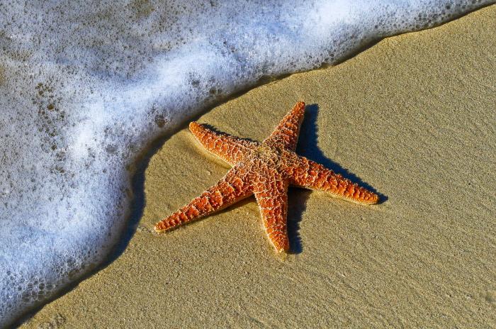 У морских звёзд обнаружили способность избавляться от инородных тел
