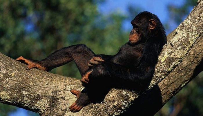 В США запретили опыты на шимпанзе