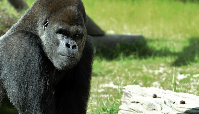 Жительниц Японии очаровал самец гориллы Шабани