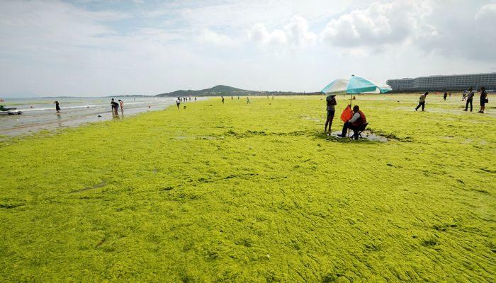 Энтероморфы заполнили десятки километров акватории Циндао