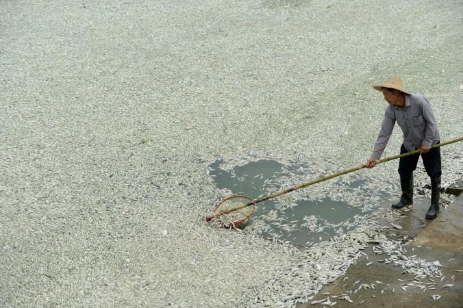 Житель убирает мёртвую рыбу из реки Фухэ в Ухань, Китай, сентябрь 2013 года. Фото: STR/AFP/Getty Images