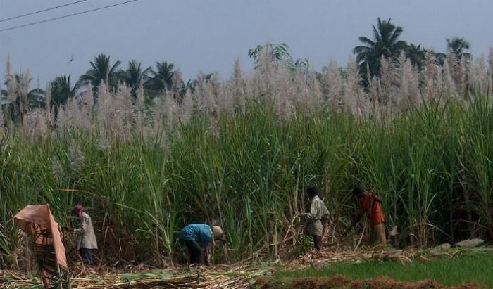 Получено экологичное «зелёное топливо» из сахарного тростника