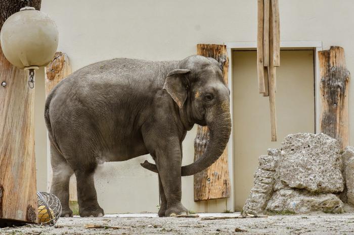 В японском зоопарке для слонов построили бассейн (видео)