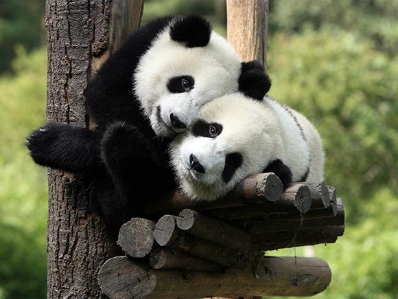 Панды обладают уникальным «режимом дня»