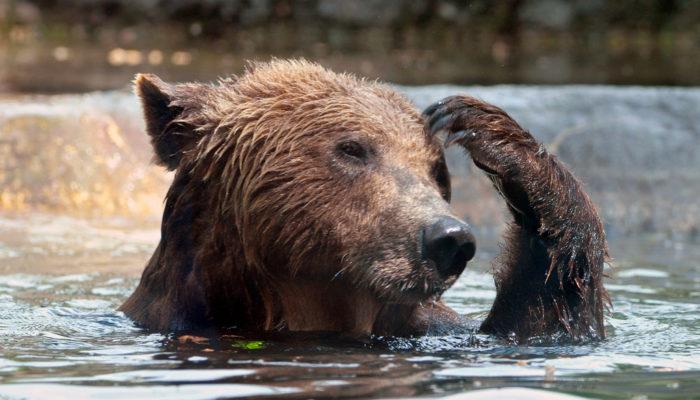 В индийской деревне спасли дикого медведя