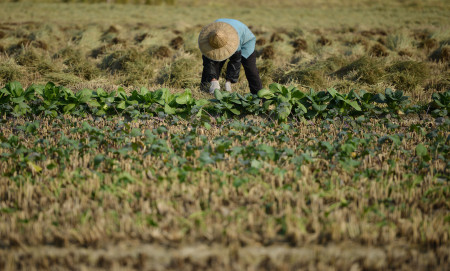 A farmer harvests a crop in the village of Gangzhong in China's eastern Zhejiang province on November 19, 2013.  Days after the conclusion of a key internal gathering known as the Third Plenum, China's ruling party leadership unveiled a list of sweeping changes to economic and social policy. They included reforms to the country's land ownership system, loosening controls over state-owned enterprises, relaxing the controversial one-child policy and eventually shuttering forced labour camps.      AFP PHOTO / Peter PARKS        (Photo credit should read PETER PARKS/AFP/Getty Images)