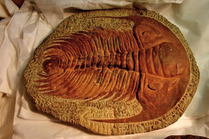 Окаменелость трилобита, одного из наиболее распространённых ископаемых благодаря его жёсткому экзоскелету. Но даже окаменелости живых существ с мягкими тканями были обнаружены. Фото:  Mike Peel/CC BY-SA 2.0