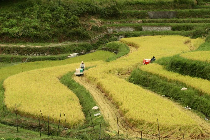 Фермеры собирают урожай риса в Японии. Фото: Buddhika Weerasinghe /Getty Images)