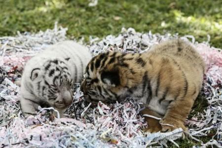 New Born Bengal Tiger Cubs At Bali Zoo