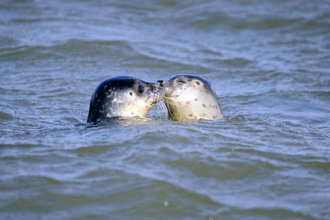 Тюленей обвинили в нападении на акул