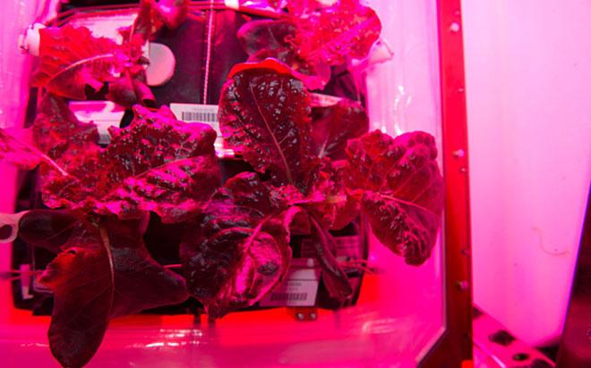 Красный салат латук, выращенный на МКС. Фото: NASA