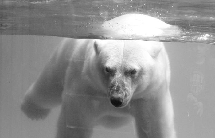 Белые медведи побили рекорд пребывания под водой