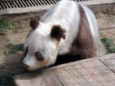 brown-white-panda-China-rare-1