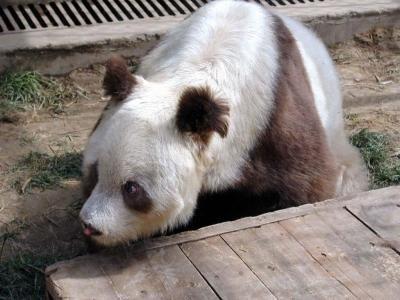 brown white panda China rare 1 - Цицзай ― редкая коричневая панда