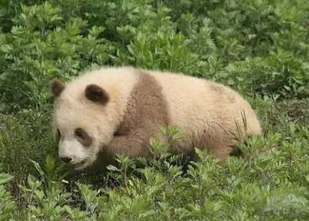 brown white panda China rare 3 450x322 - Цицзай ― редкая коричневая панда